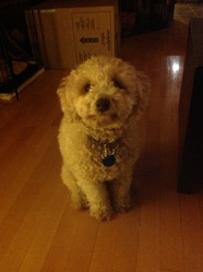 Zoey, chien Caniche