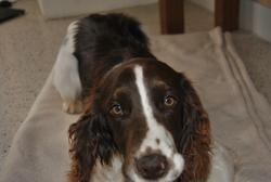 Zola, chien Springer anglais