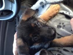 Zola , chien Berger allemand