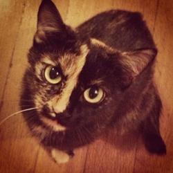 Zola, chat Européen