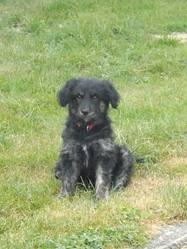 Zola , chien Berger catalan