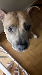 Zoltan, chien American Staffordshire Terrier