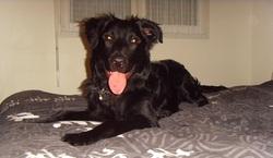 Zzonka, chien Labrador Retriever
