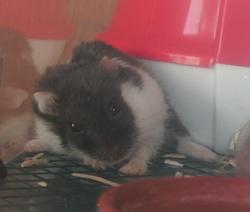 Zonzon, rongeur Hamster