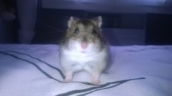 Zoomer, rongeur Hamster