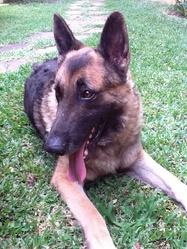 Zoon, chien Berger allemand