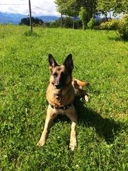 Zora, chien Berger allemand