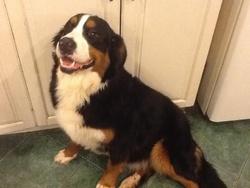 Zora, chien Bouvier bernois