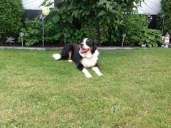Zorah, chien Bouvier bernois