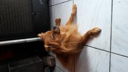 Zorba, chien Spitz allemand