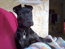 Zorka, chien Staffordshire Bull Terrier