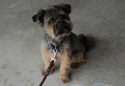 Zoro, chien Shih Tzu