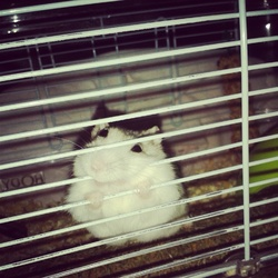 Zoro, rongeur Hamster
