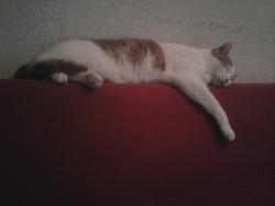 Zorra, chat Européen