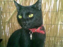 Zorro, chat Européen
