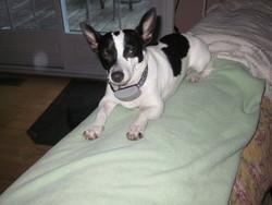 Zorro, chien Jack Russell Terrier