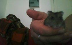 Zorro, rongeur Hamster