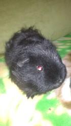 Zorro, rongeur Cochon d'Inde