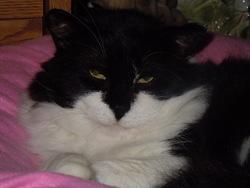 Zorro, chat Gouttière