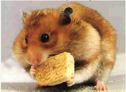 Zossia, rongeur Hamster
