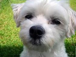 Zouk, chien Bichon maltais