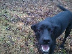 Zoulou, chien Labrador Retriever