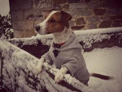 Zoum, chien Jack Russell Terrier