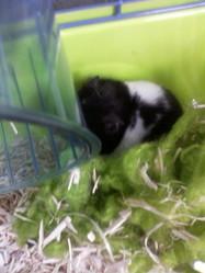 Zoum, rongeur Hamster