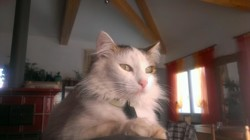 Zouz, chat Sibérien