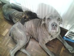 Zouzou, chien Cane Corso