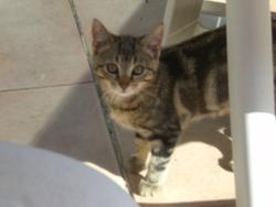 Zouzou, chat Européen