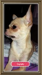 Zouzouille, chien Chihuahua