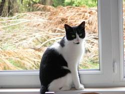 Zozo, chat Européen