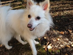 Zuky, chien Spitz japonais