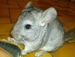 Zumba, rongeur Chinchilla