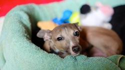 Zumba, chien Petit Lévrier italien