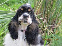 Lady, chien Cocker américain