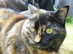 Zuul, chat Européen