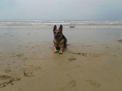 Zwina, chien Berger allemand