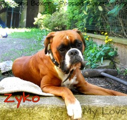 Zyko, chien Boxer