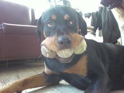 Zazie, chien Rottweiler