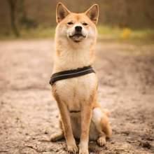 Photo de Akina, chien Shiba Inu