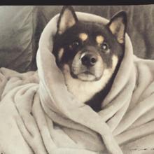 Photo de Baka, chien Shiba Inu