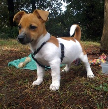 Photo de Bidule, chien Jack Russell Terrier