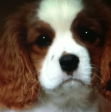Photo de Channel, chien Cavalier King Charles Spaniel