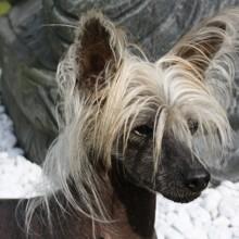 Photo de Human, chien Chien chinois à crête