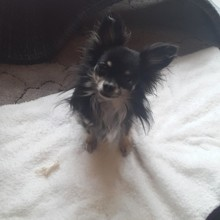 Photo de Ipso, chien Chihuahua