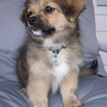 Photo de Irkhan, chien Épagneul tibétain