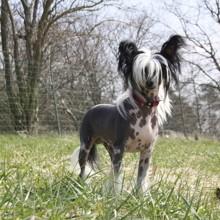 Photo de Léo, chien Chien chinois à crête