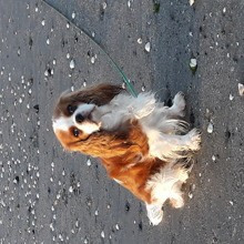 Photo de Milady, chien Cavalier King Charles Spaniel